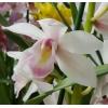 Продаю орхидеи почтой по России.