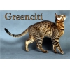 Бенгальские котята,  котята тойгера