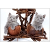 """Британские котята -  """"Британская Симфония""""."""