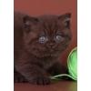 Британские котята:  голубые,  лиловые,  шоколадные!