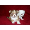 ЧИХУА-ХУА щенки рыжий,  триколор,  белый,  палевый,  черный с бе