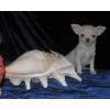 ЧИХУАХУА  . Большой выбор щенков по размеру,  цвету и цене