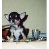 ЧИХУАХУА щенок продается