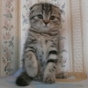 Чёрная мраморная скоттиш-фолд кошечка