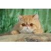 Экзотики и персы,  котята и подрощеные животные