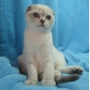 голубой линкс-пойнт скоттиш-фолд котик