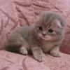 голубой мраморный скоттиш-фолд - котик