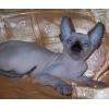 Канадский сфинкс, голубоглазые котята, (доставка) .