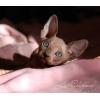 Котята  канадского сфинкса из питомника La-Charmel