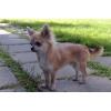 Красивый ЧИХУАХУА подрощенный щенок