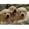 лабрадора щенки