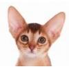 Абиссинские,  бенгальские котята и пикси-бобы - самые редкие породы дл