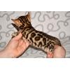Бенгальские котята из питомника Yves Piaget