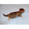 Бенгальские котята ласковые