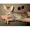 Бенгальский котёнок-друг Вашей семьи
