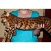 Бенгалы ( Мини - леопардики )   Котик 3 мес.