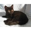 Британские черные,  шоколадные,  черепаховые котята
