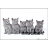 Британские котята голубые и лиловые