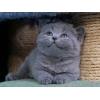 Британские котята из питомника Москвы