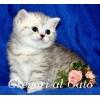 Британские котята Серебристые Мраморные и тебби с изумрудными глазами