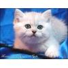 Британские котята Серебристые шиншиллы Шоу-класса с изумрудными и син