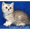 Британские  котята  Шоу-класса Серебристые тебби (Вискас)