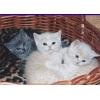 Британские   плюшевые  котята .   Шоу-класс,   для выставки и души