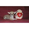 ЧИХУАХУА щенки - для выставок и для души
