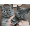 Голубые и колорпоинтовые котята