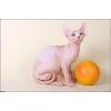 Канадский сфинкс-Голые котята,   любых окрасов!
