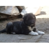 Кавказской овчарки щенки