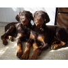Клубные щенки добермана