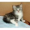 Клубные сибирские котята