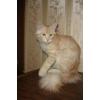 Клубный сибирский котик