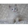 Невские Маскарадные котята редких окрасов