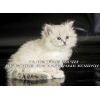 Невских Маскарадных котят биколорного окраса