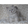 Невских Маскарадных котят из питомника