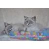 Невский Маскарадный - самый лучший котенок