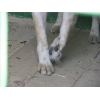 Нора - метис вельш корги кардиган,  возраст 1-2года