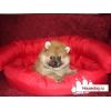 Очаровательные щенки померанского карликового шпица