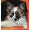 Папийон-собака бабочка. Щенок.