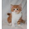 питомник британских и Шотланских вислоухих кошек De L`amoore