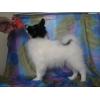 Продам подрощеынного щенка папийона (мальчик)