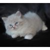 Продаются Невские Маскарадные котята из питомника