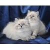 Продажа,  покупка,  котят,  кошек,  котов,  невские,  маскарадные,  пи