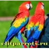 Птенцы крупных видов Попугаев из Московского и  Европейских питомников