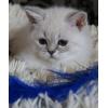 Шикарные,  эксклюзивные котята редкого окраса