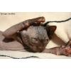 шоколадные котята канадского сфинкса под кастрацию!
