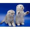 Шотландские котята драгоценных окрасов