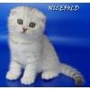 Шотландские котята   серебристого окраса